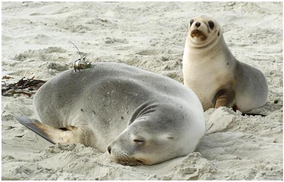 种新西兰海狮濒临灭绝