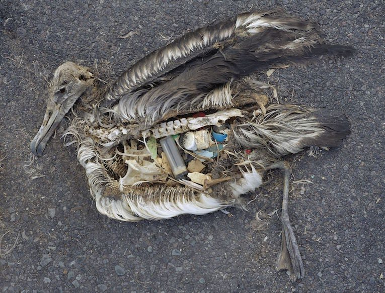 The-Plastic-Impact-on-Birds-1-Albatross.jpg