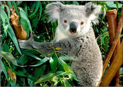 """被送往澳大利亚野生动物医院的考拉们频繁地显现"""""""