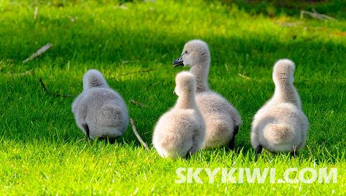 春天来了 看鸭子湖畔的黑天鹅宝宝
