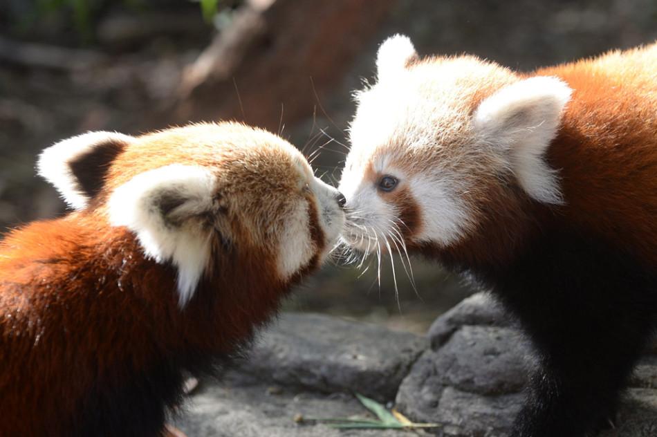 春天里的动物宝贝:北极熊双胞胎在草地玩耍(组图)